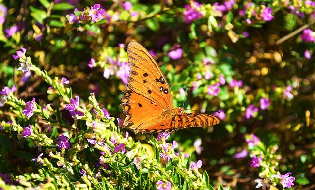 Butterfly-650.jpg