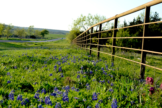 Ranch Bluebonnets-650.jpg