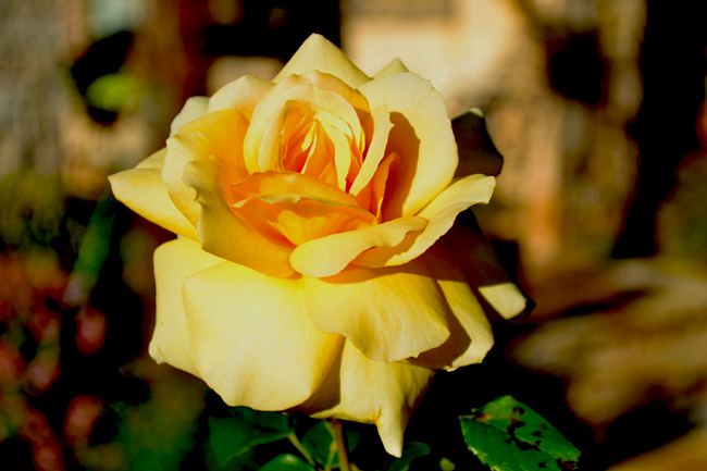 Yellow Rose of Texas-650.jpg