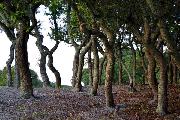 Golf Trees - 600.jpg
