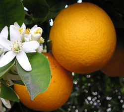 OrangeBloss_wb 250.jpg