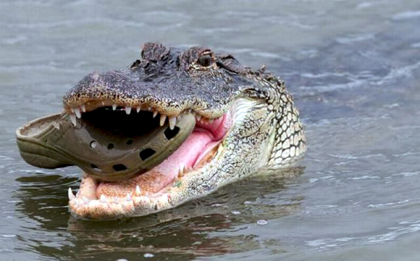 Crocodile Cannibalism-600.jpg