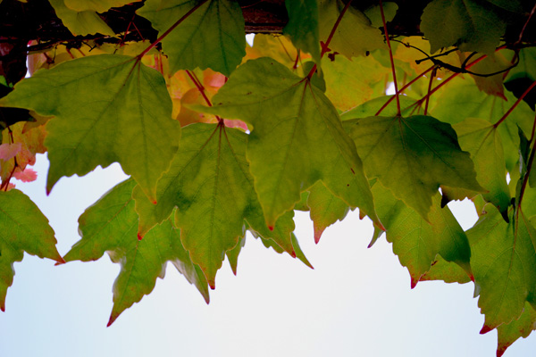 Winery Leaves - 600.jpg